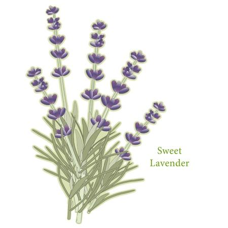 lavanda: Hierba Dulce Flores de Lavanda Vectores