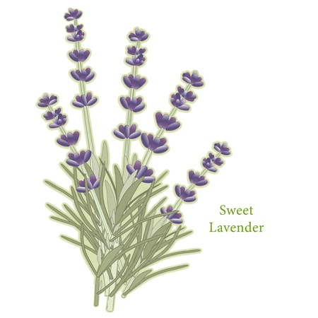 Sweet Lavender Flowers Herb  Stock Vector - 13458997
