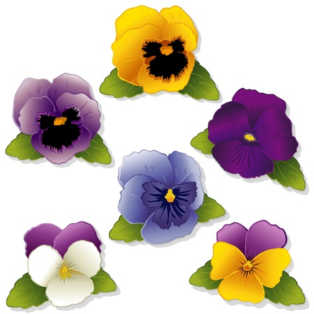 violet flowers: Pansy Flowers and Johnny Jump Ups  Violas  isolated on white background  Illustration