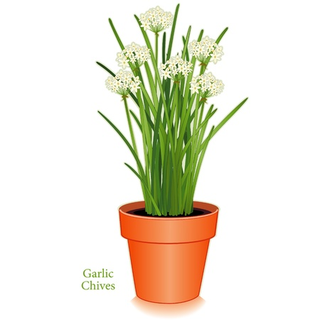 chives: Garlic Chives in clay flower pot, aromatic herb, white flowers, slender leaves, mild onion garlic flavor; also called Chinese chives or wild garlic  Isolated on white background  Illustration