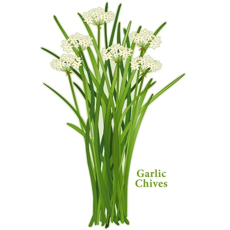 Garlic Chives, aromatic herb, white flowers, slender leaves, mild onion garlic flavor; also called Chinese chives or wild garlic  Isolated on white background