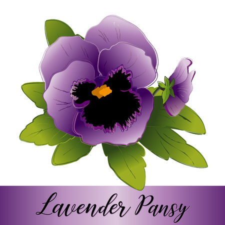 Pansy flowers, Lavender blooms  (Viola tricolor hortensis) isolated on white