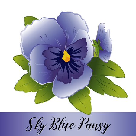 Pansy flowers, sky blue blooms (Viola tricolor hortensis) isolated on white