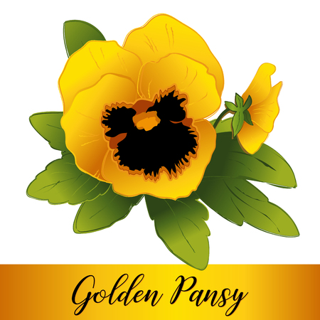 Pansy flowers, golden yellow blooms (Viola tricolor hortensis) isolated on white Stock Illustratie