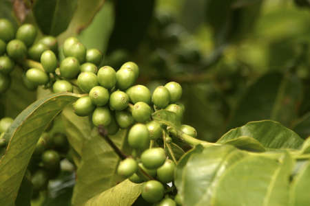 coffe beans: Green Coffe Beans, Guatemala Stock Photo