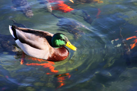 Mallard Duck swimming in a pond with gold fish