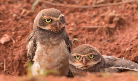 burrowing: Two Baby Brazilian Burrowing Owls Stock Photo