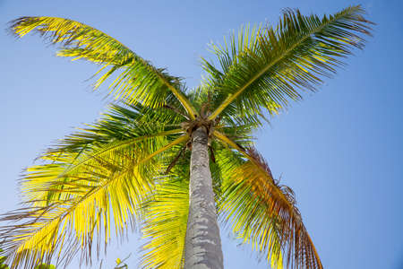 View of a Coconut Tree from underneath looking up at the sky Banque d'images