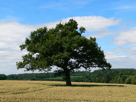 centred: large tree centred in a wheat field