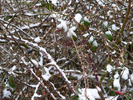 thorn bush: black berry thorn bush with some leaves, covered in snow
