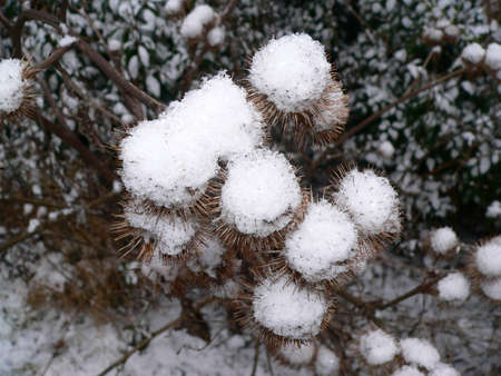 bunched: thistle buds covered in snow that have bunched together Stock Photo