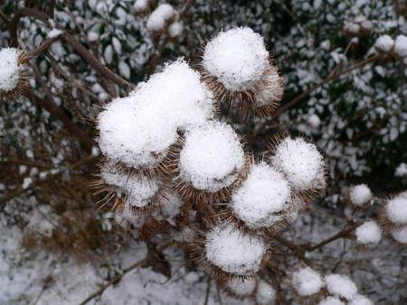 bunched: Thistle gemme coperti di neve che hanno raggruppato insieme