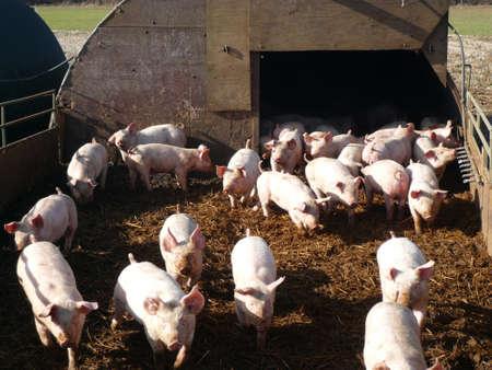 cerdos: Una multitud de los lechones en una pocilga en una granja