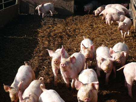 young pig: A crowd of piglets in a sty on a farm