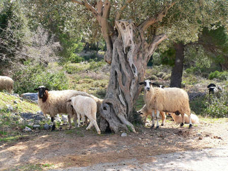Sheep wandering freely around an olive tree in greece photo