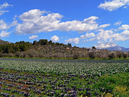 cabbage field with a snow capped mountain in the background on the island of evia in greece photo