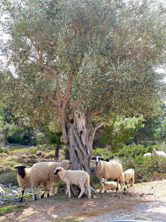 sheep grazing next to olive trees photo