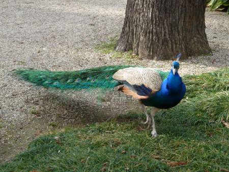 tail fan: Peacock wondering around on green grass in a park