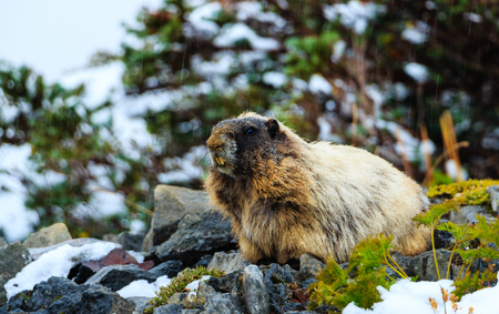 heap of snow: A Marmot stands guard by a rock pike in Mt. Rainier National Park, Washington. Stock Photo