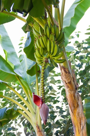 Banana plant with green leaves and a pink knob photo