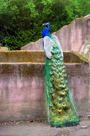 Peacock is sitting on the stones Stock Photo - 13170011