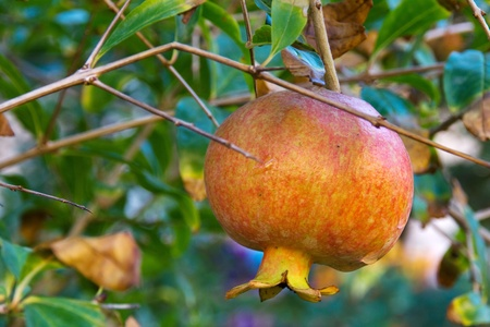 A pomegranate growing on the tree photo
