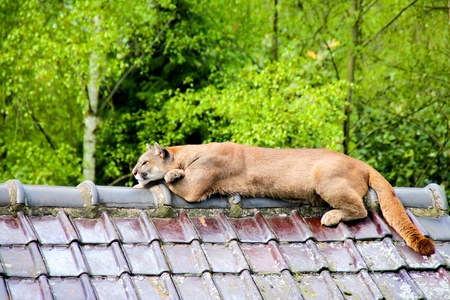 Puma lying on the roof Stock Photo - 13229696