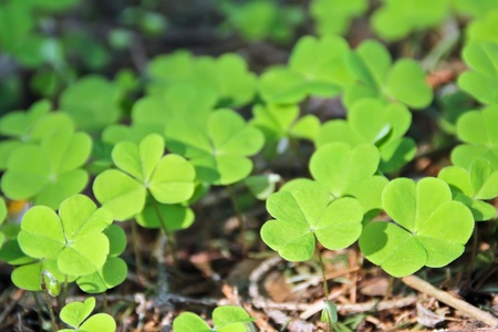 three wishes: Green shamrocks are growing in the forest