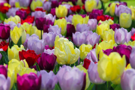 A great many of the tulips of different colors Stock Photo - 13392644