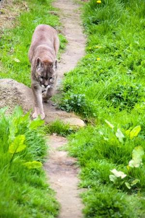 Tiger follows the path Stock Photo - 13985603