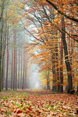 The wood road leaving in a fog. The late autumn, fallen down leaves.