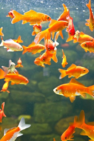 Red and gold fishes in aquarium