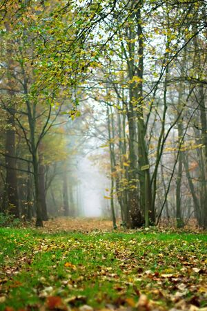 Foggy forest in autumn with ground covered in fallen autumnal leaves
