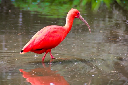 Scarlet ibis (Eudocimus ruber) bird in the water Stock Photo - 15393093