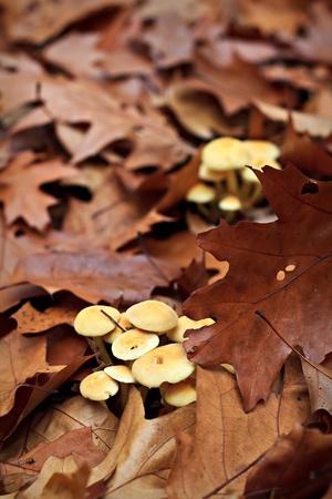 tuft: Sulfur tuft (Hypholoma fasciculare) mushroom in forest
