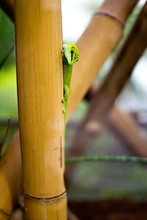 ascended: A green lizard on a bamboo trunk. Shallow DOF