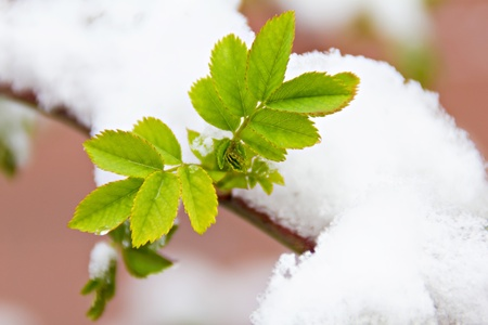 New green leaves under the snow in spring photo