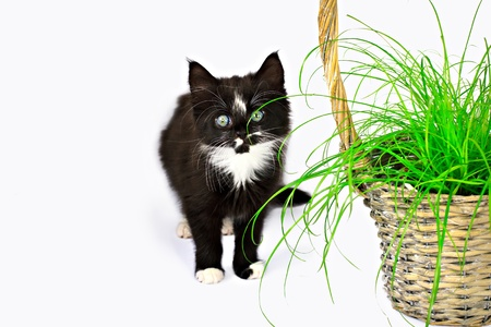 Kitten eating the grass in the basket, isolated on white photo