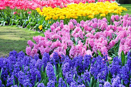 Blue and pink hyacinths, red and yellow tulips in spring