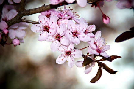 Beautifull cherry tree blossom in the spring Stock Photo