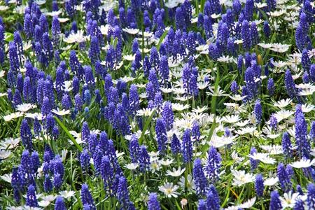 Muscari neglectum flowers in the spring garden Stock Photo