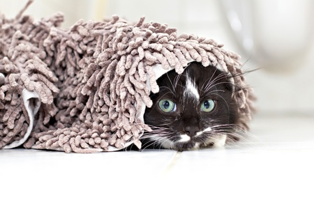 'hide out': Black-white kitten hiding under the carpet and peeking Stock Photo