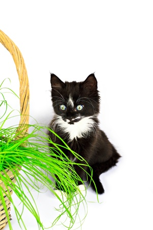 Kitten and the grass in the basket, isolated on white photo