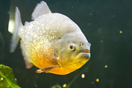 Piranha with gray-gold scale in the water Stock Photo - 16463633