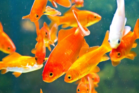 Red and gold fishes in aquarium photo