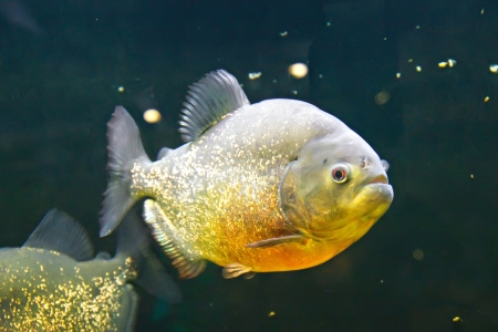 pygocentrus: Piranha with gray-gold scale in the water