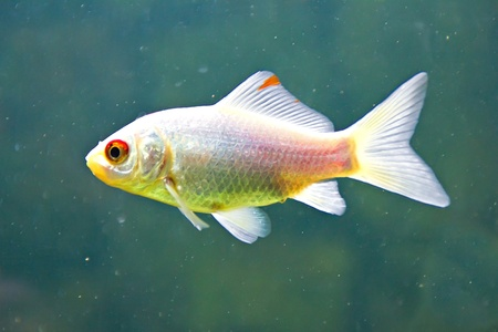 Small silver koi fish  in aquarium Stock Photo - 16585260