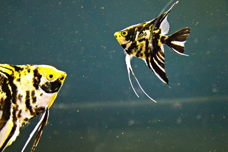 scalar: The triangle-shaped, striped angel fish  scientific name  Pterophyllum scalar