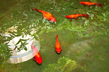 Red and gold fishes in the pond photo