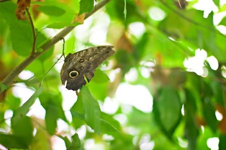 Caligo Memnon or Owl Butterfly in the green Stock Photo - 16789179